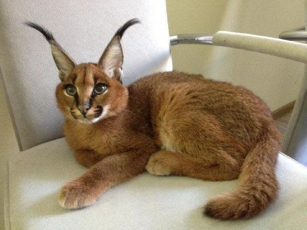 home caracal cats