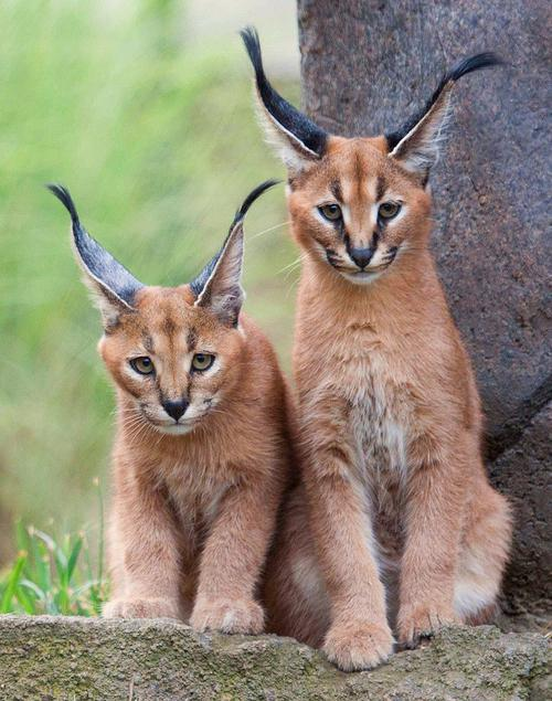 cat breed caracal photo
