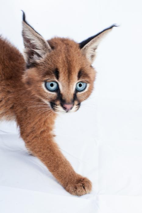 cat breed caracal