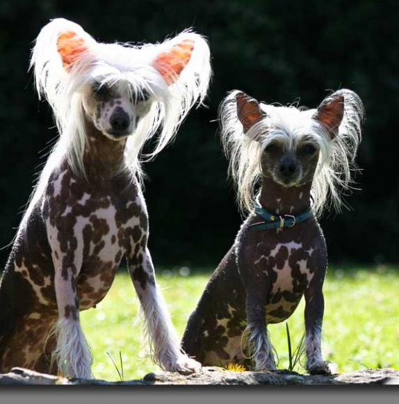 smooth breed dogs