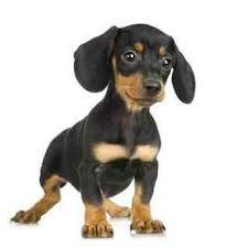 small smooth breed dogs
