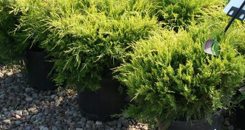juniper berries application