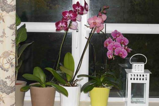 фаленопсис размножение в домашних условиях