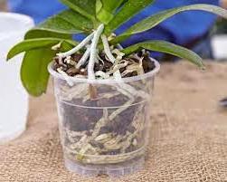 орхидея фаленопсис уход в домашних условиях размножение