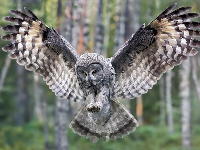 Чем отличается сова от филина и сыча