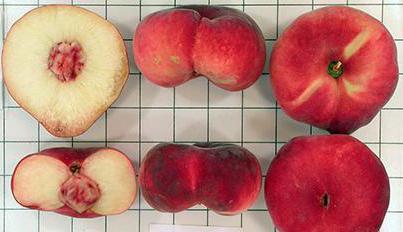 плоские персики это гибрид