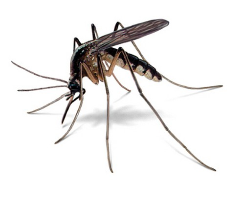 how many mosquito lives after the bite