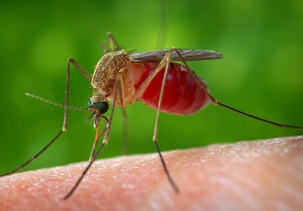 how many days the mosquito lives