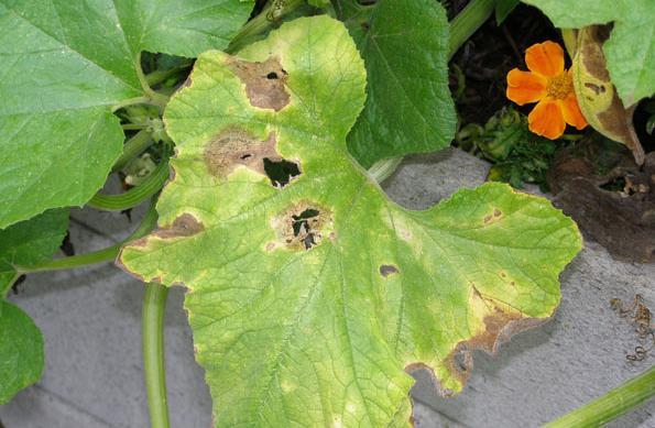Почему появляются желтые пятна на листьях огурца?