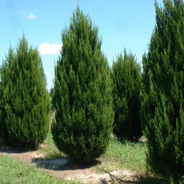 juniper creeping