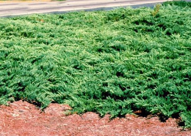 juniper breeding