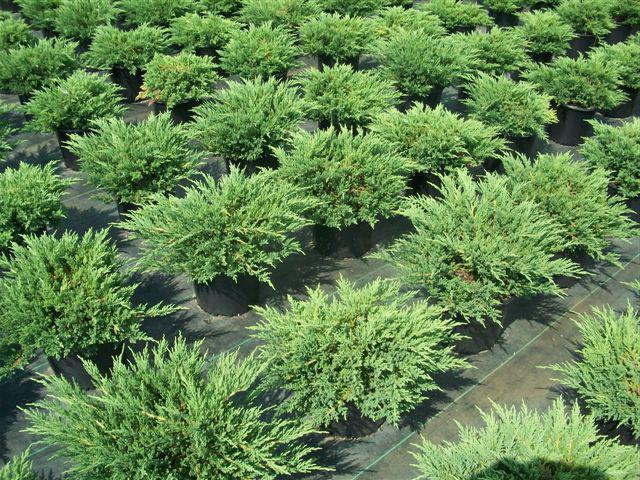 juniper diseases