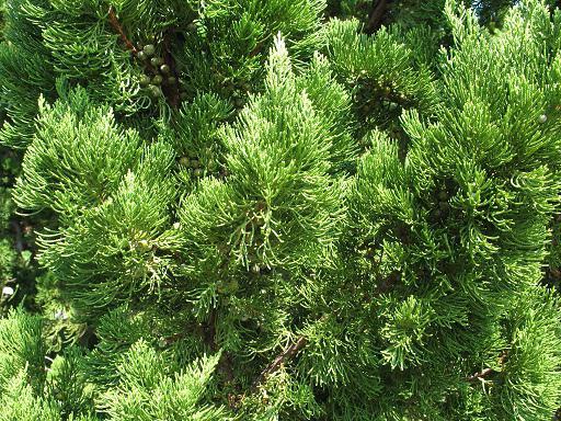 juniper planting and care