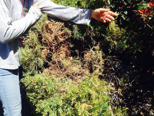 juniper species