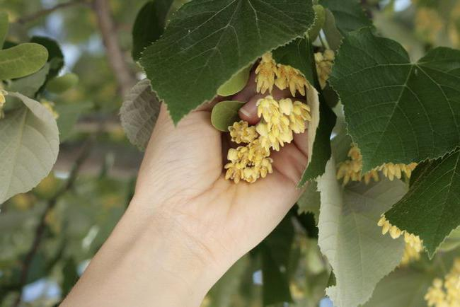 Как применять цветы липы