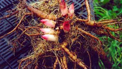 уход за пионами после цветения в саду
