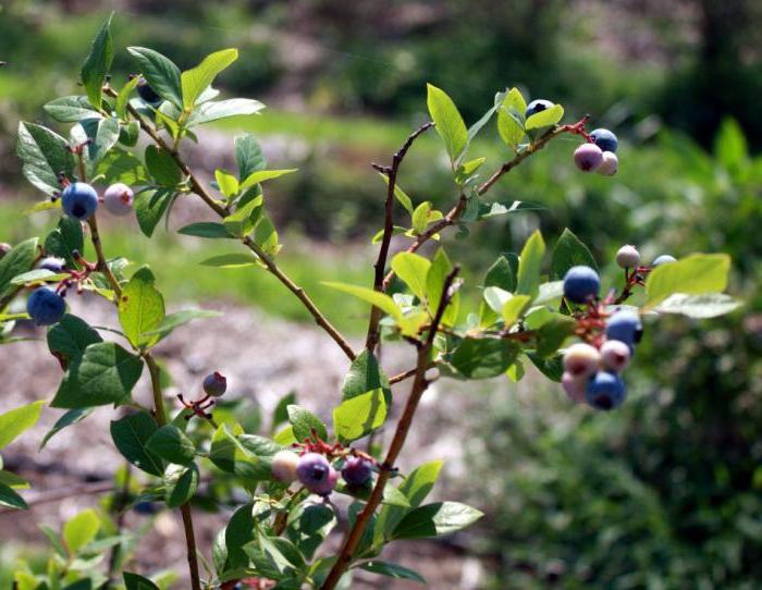 Ягода голубика: полезные свойства и противопоказания