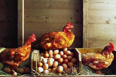chickens do not rush after purchase what to do