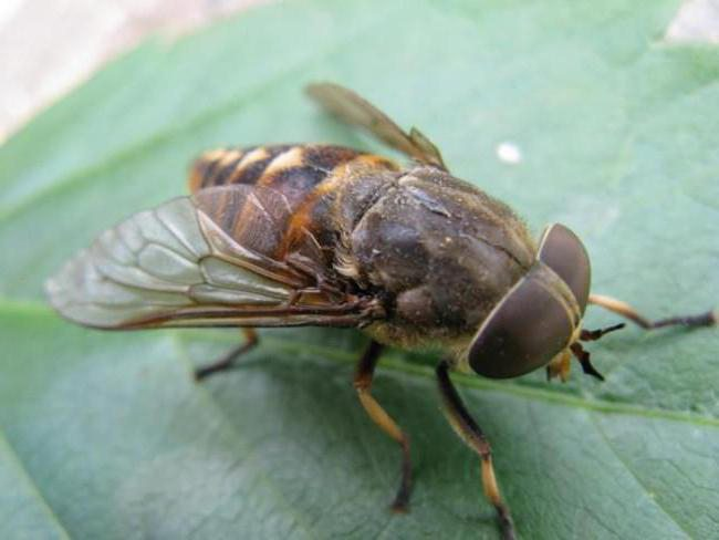 gadfly insect