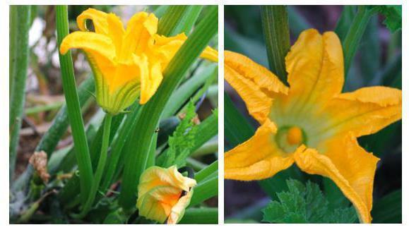 пестик и тычинка схема