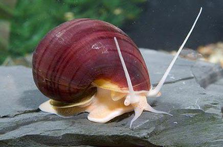 snails ampouleria reproduction