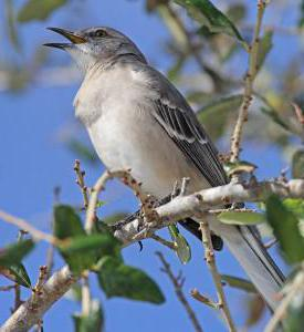 singing bird mockingbird