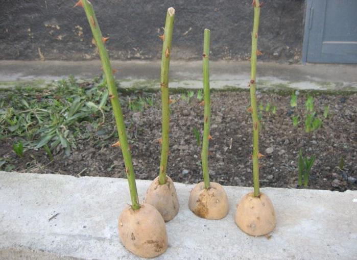 Черенкование розы летом: в картошке, под банкой, в домашних условиях :: SYL.ru