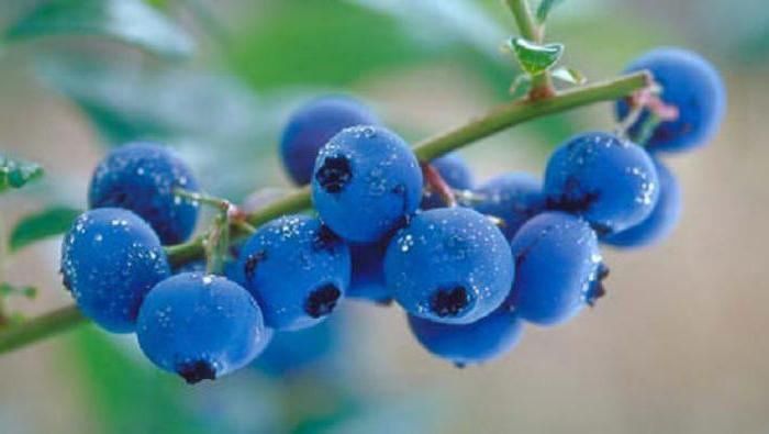 blueberry during pregnancy benefits and harm