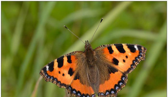 Гусеница бабочки крапивницы фото