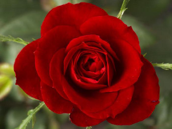 уход и посадка роз