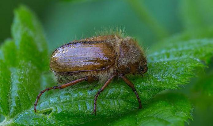 what does the june beetle look like