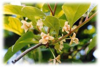 Chinese lemongrass healing properties