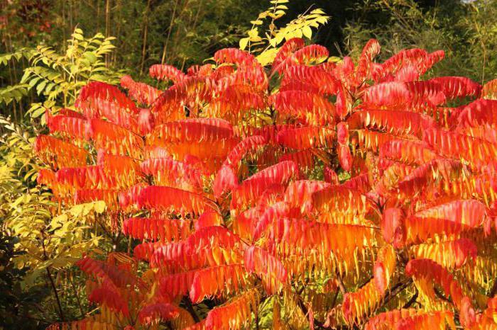vinegar tree description