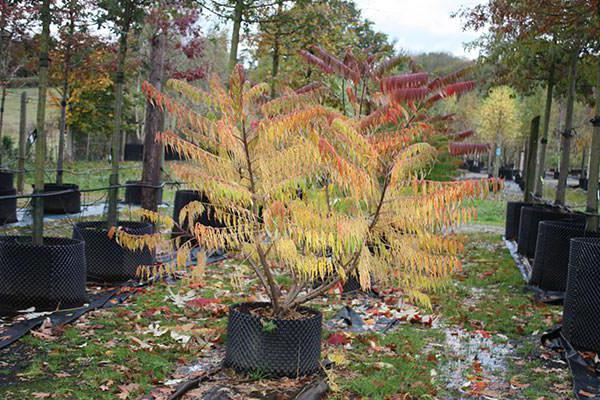 planting vinegar tree