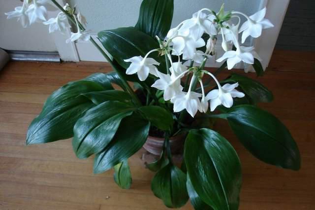Комнатные цветы фото лилия