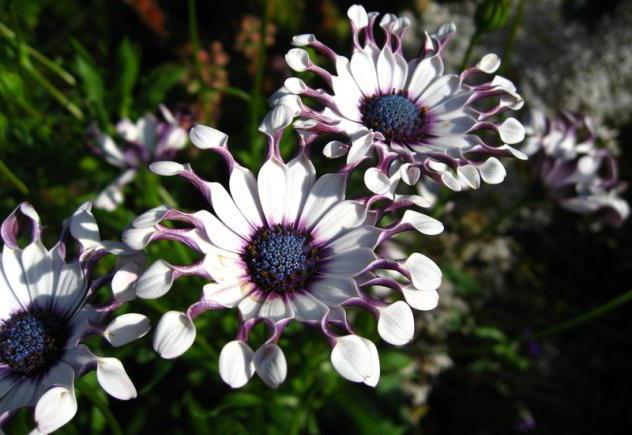 цветок маргаритка фото уход