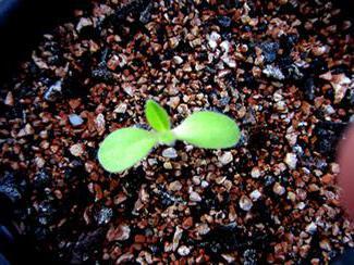 Цветок маргаритка посадка фото