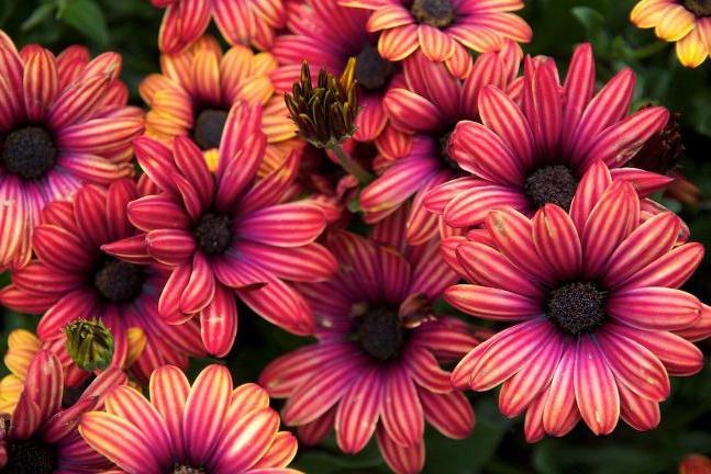 цветы маргаритки фото посадка и уход