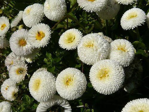 flowers daisy cape