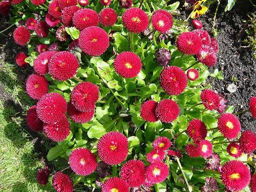 цветы маргаритки выращивание