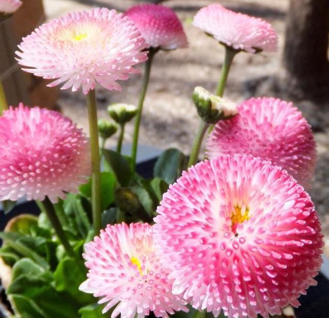 маргаритки значение цветка