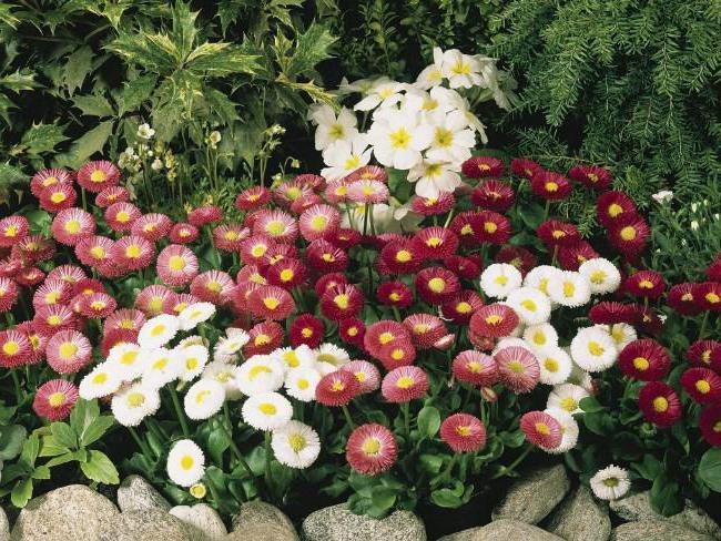 цветы маргаритка капская