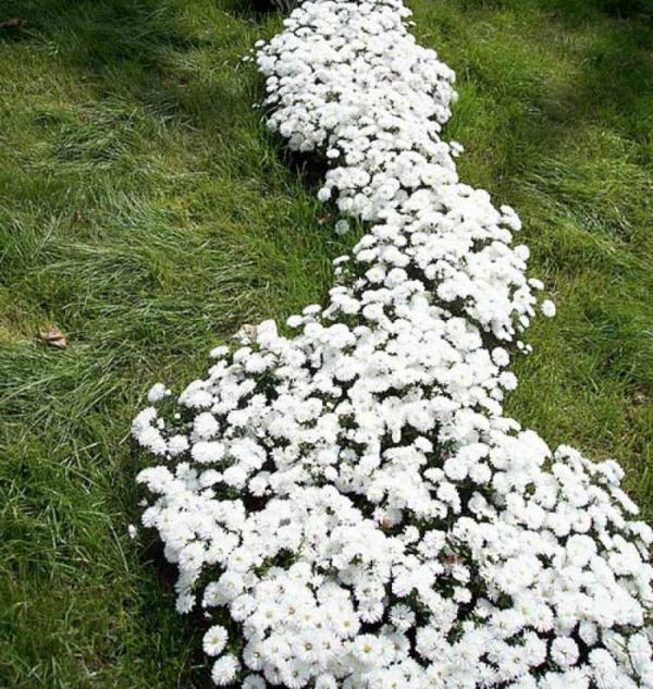 маргаритки цветы уход