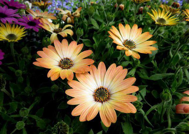 Daisy Flowers Photos