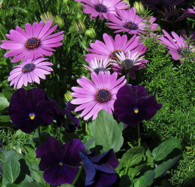 daisy flower cultivation