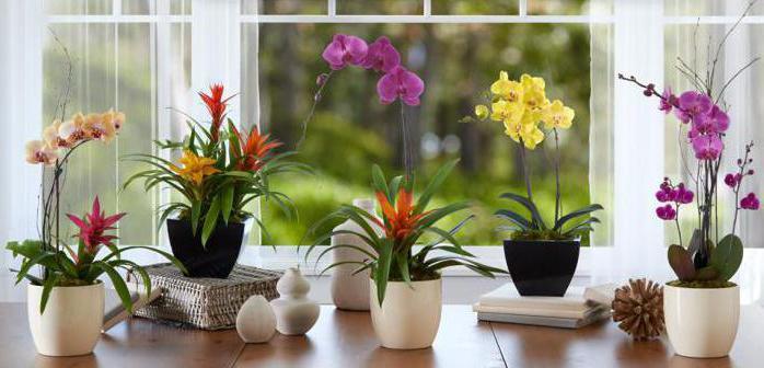 Цветок орхидея онцидиум уход и размножение в домашних