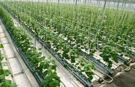 fertilizer application for cucumbers