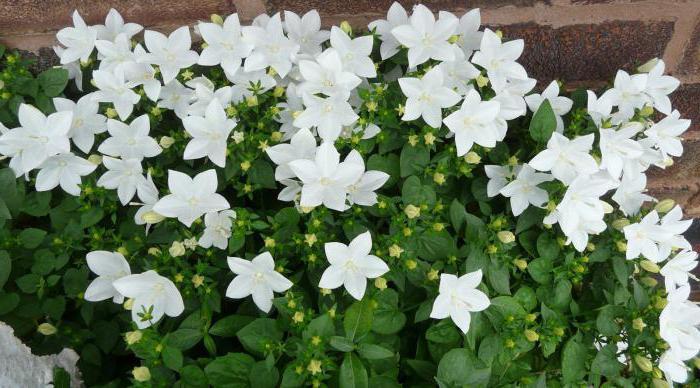 фото садовые цветы невеста