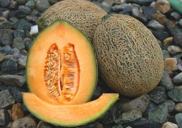growing melons in the open field