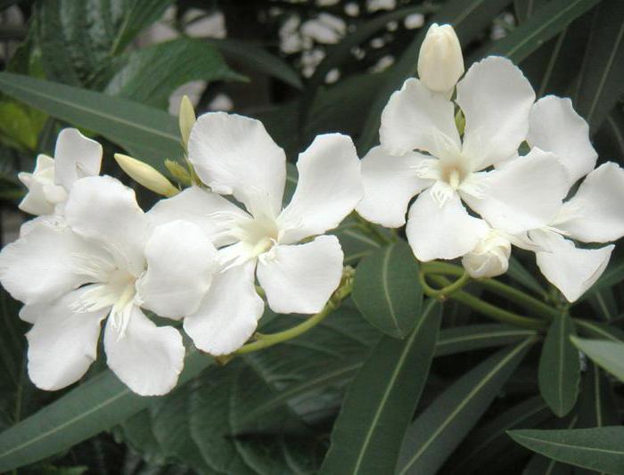 oleander breeding